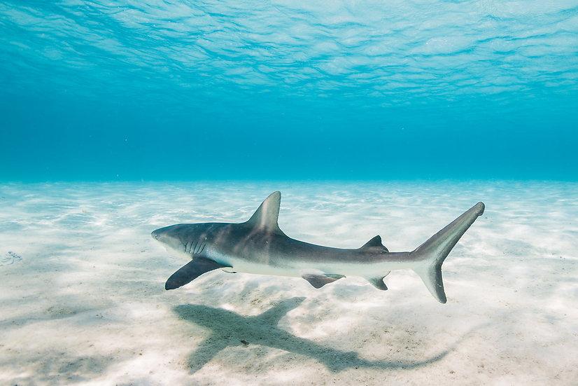 Cocos Shark