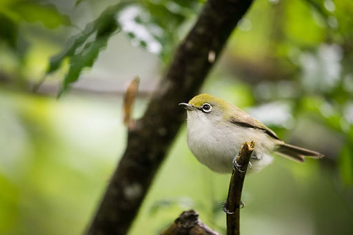 _CI_White_Eye.jpg