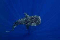 Whaleshark sunrays