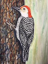 woodpecker IMG_5780.JPG