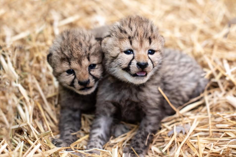 Naissance de guépards