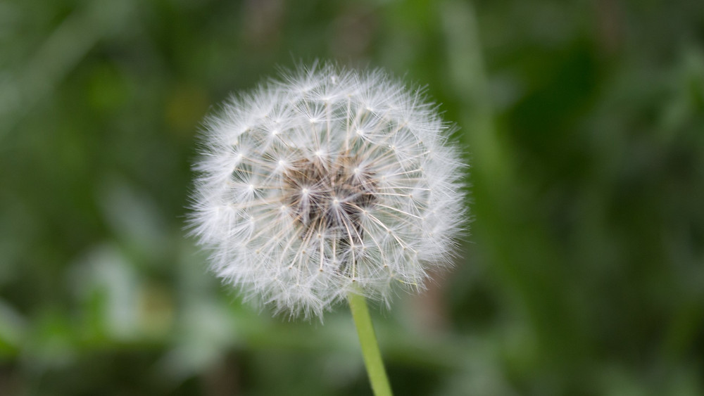 Photograph of a dandelion seed head, background is blurred grass