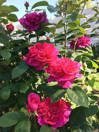 Sophie's Rose.JPG