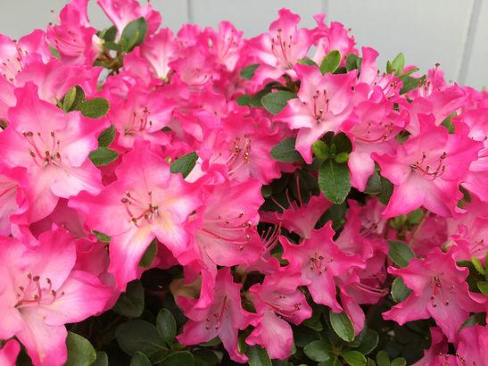 Rhododendron kiusianum.JPG