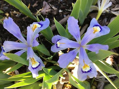 Iris cristata.JPG