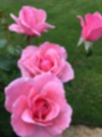 Rose Pink Bountiful.JPG