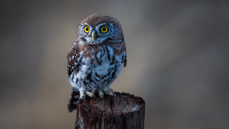 Juan Venter_Pearl spotted owl.JPG