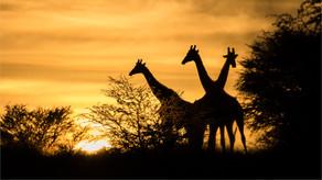 Juan Venter_Giraffe at Sunrise.jpg