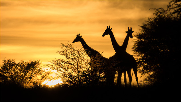 Juan Venter_Giraffe at Sunrise.jpg
