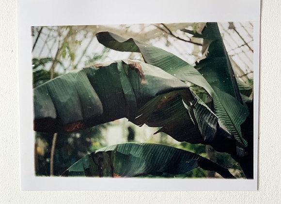 Kew Gardens: Banana Leaf