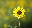 sunflower1 (2).jpg