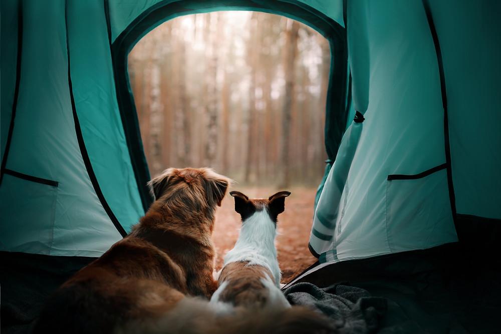 Hunde beim Camping