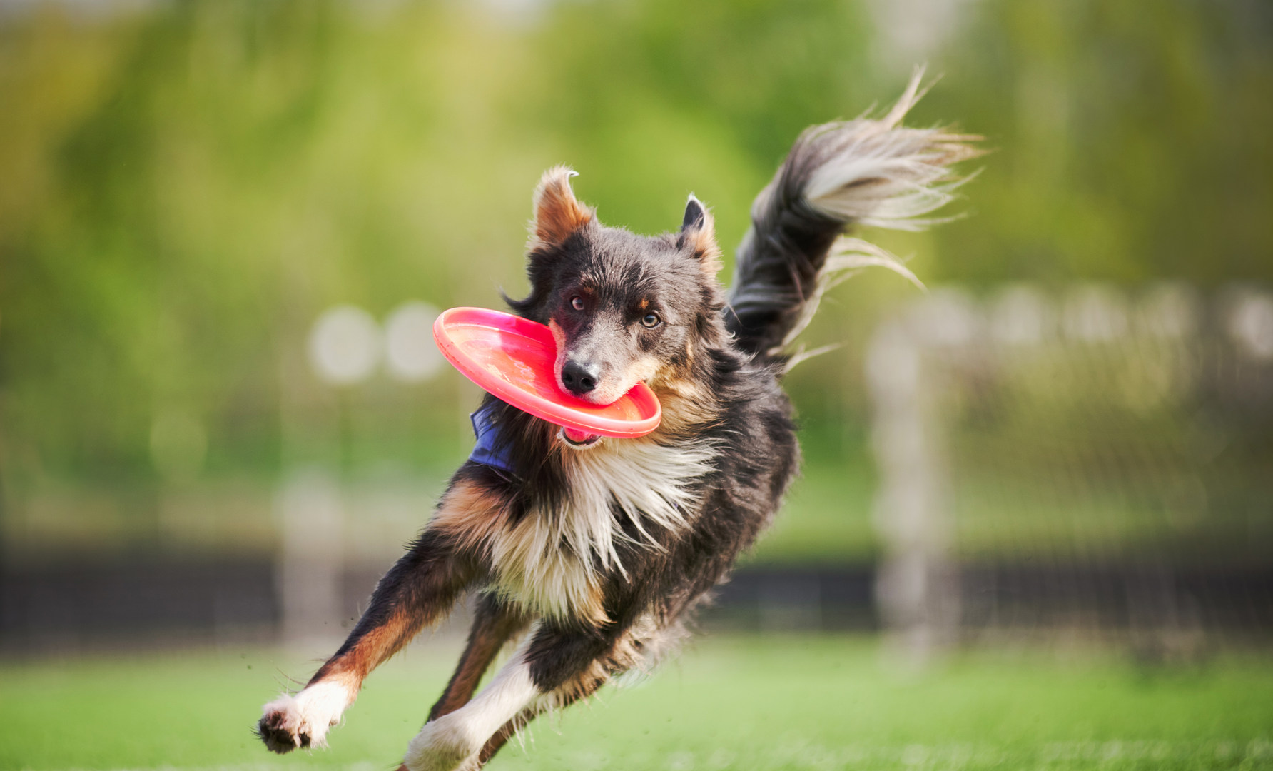 funny border collie dog brings the flyin