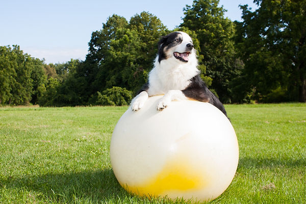 Hundefitnesstraining | MainBARF | Hundetraining Frankfurt