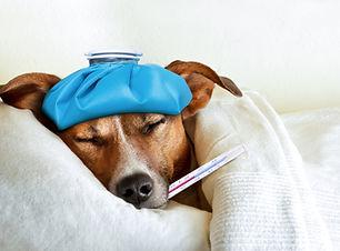 kranker Hund mit Fieberthermometer BARF PLAN CARE BARF Hund Barf Katze Barf Frankfurt