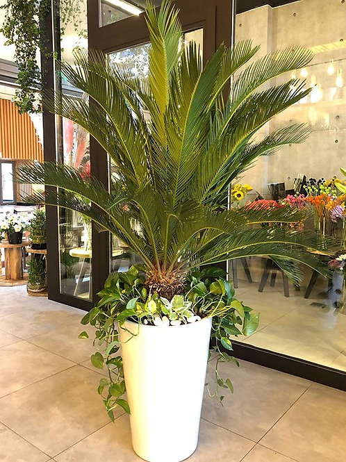 Sago Palm 'Home & Garden'