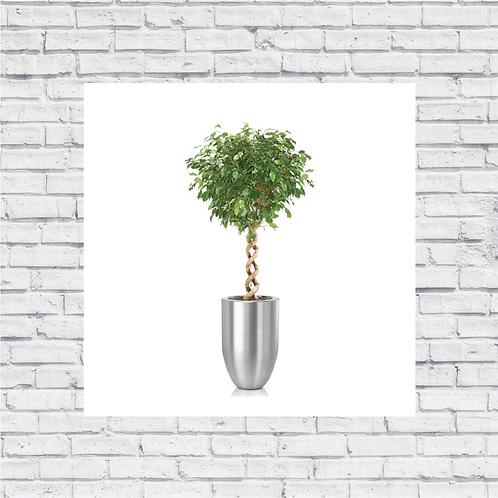 Ficus Double Helix