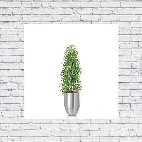 Ficus Amstel Queen
