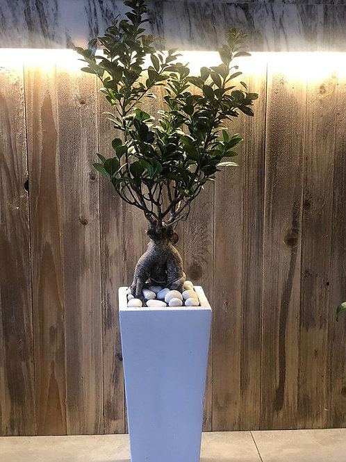ficus Bonsai Tree pot