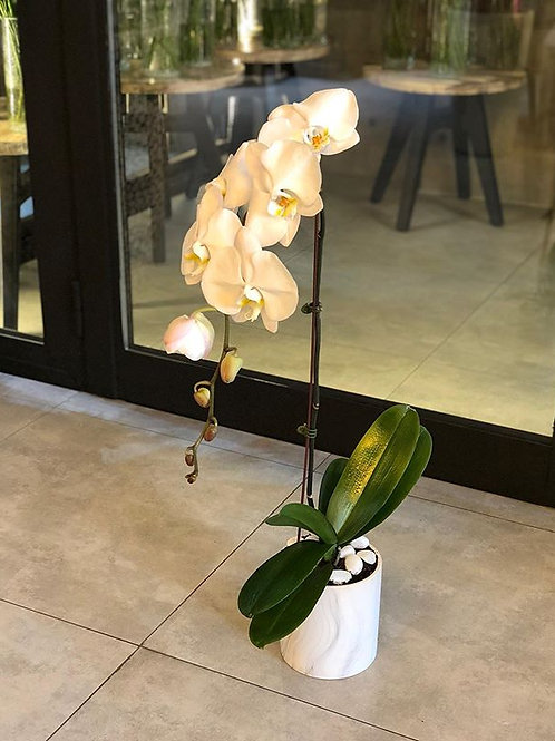 Phalaenopsis Marble pot
