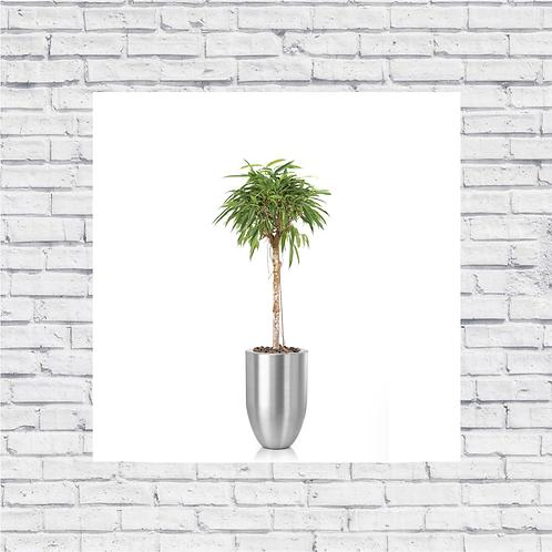 Ficus Amstel Queen Crown