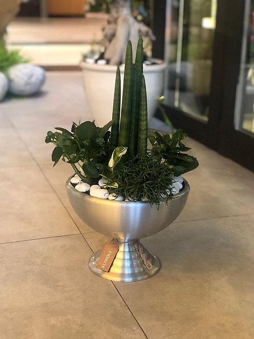 Sansevieria Cylindrica 'straight'