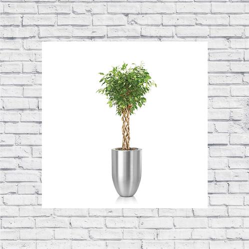 Ficus Open Braid