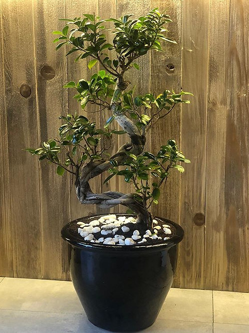 Ficus Bonsai Tree Pot