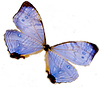 BlueButterfly.png