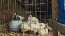 Processing Chicken