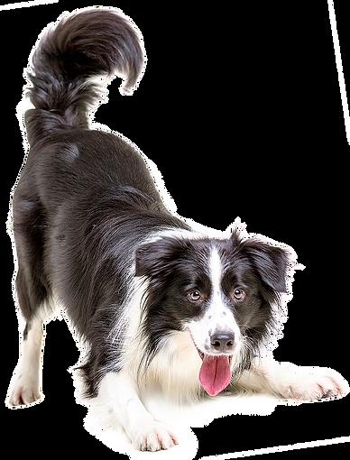 kisspng-border-collie-puppy-cat-pet-vete