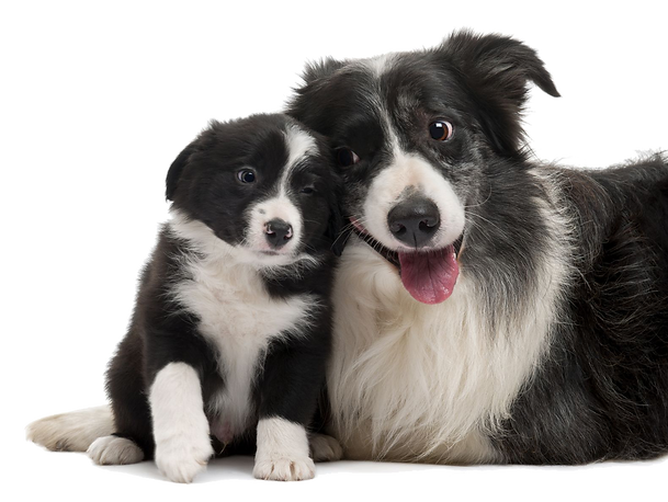kisspng-border-collie-rough-collie-smoot