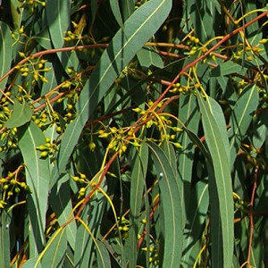 Eucalyptus smithii Organic Essential Oil 10mL