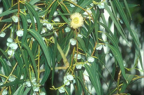 Eucalyptus Lemon Organic Essential Oil