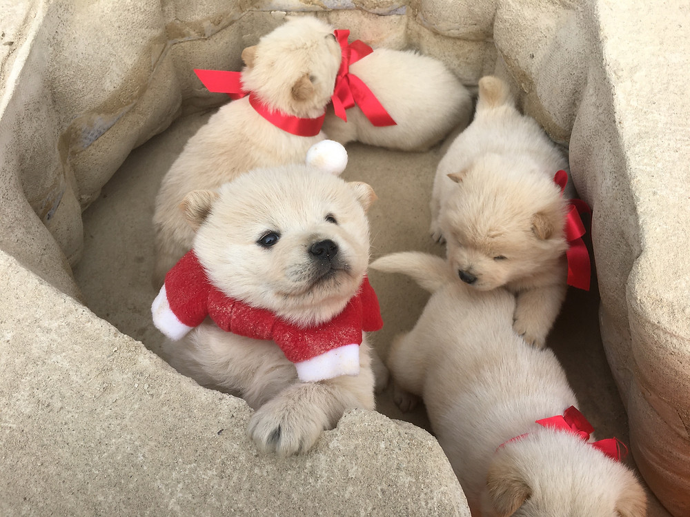 Chowchow mix babies at rammed earth doghouse, earthen doghouse, earthen kennel, fabric formwork, santa dog