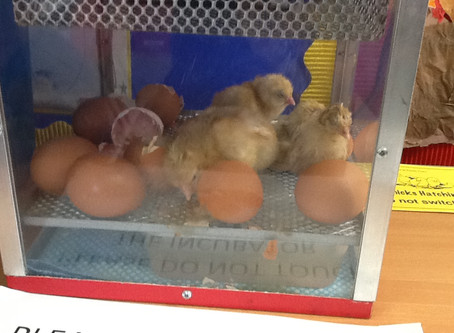 Our Chicks have started to hatch.