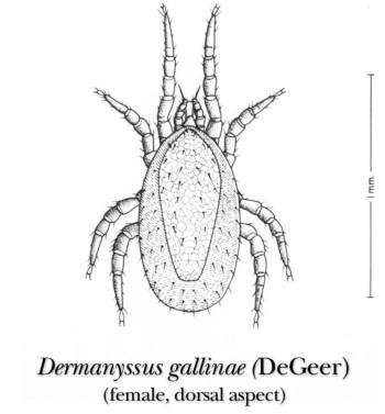 What is Dermanyssus Gallinae?