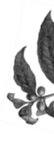 Coffee Plant Image.png