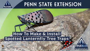 Making & Installing Spotted Lanternfly Tree Traps At Home