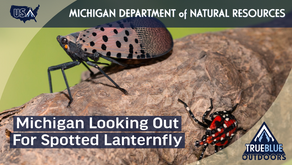 Spotted lanternfly could be next invasive species in Michigan