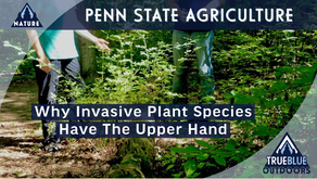 How Invasive Plants Have The Upper Hand Over Native Species