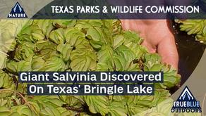 Giant Salvinia Discovered on Bringle Lake in Texas