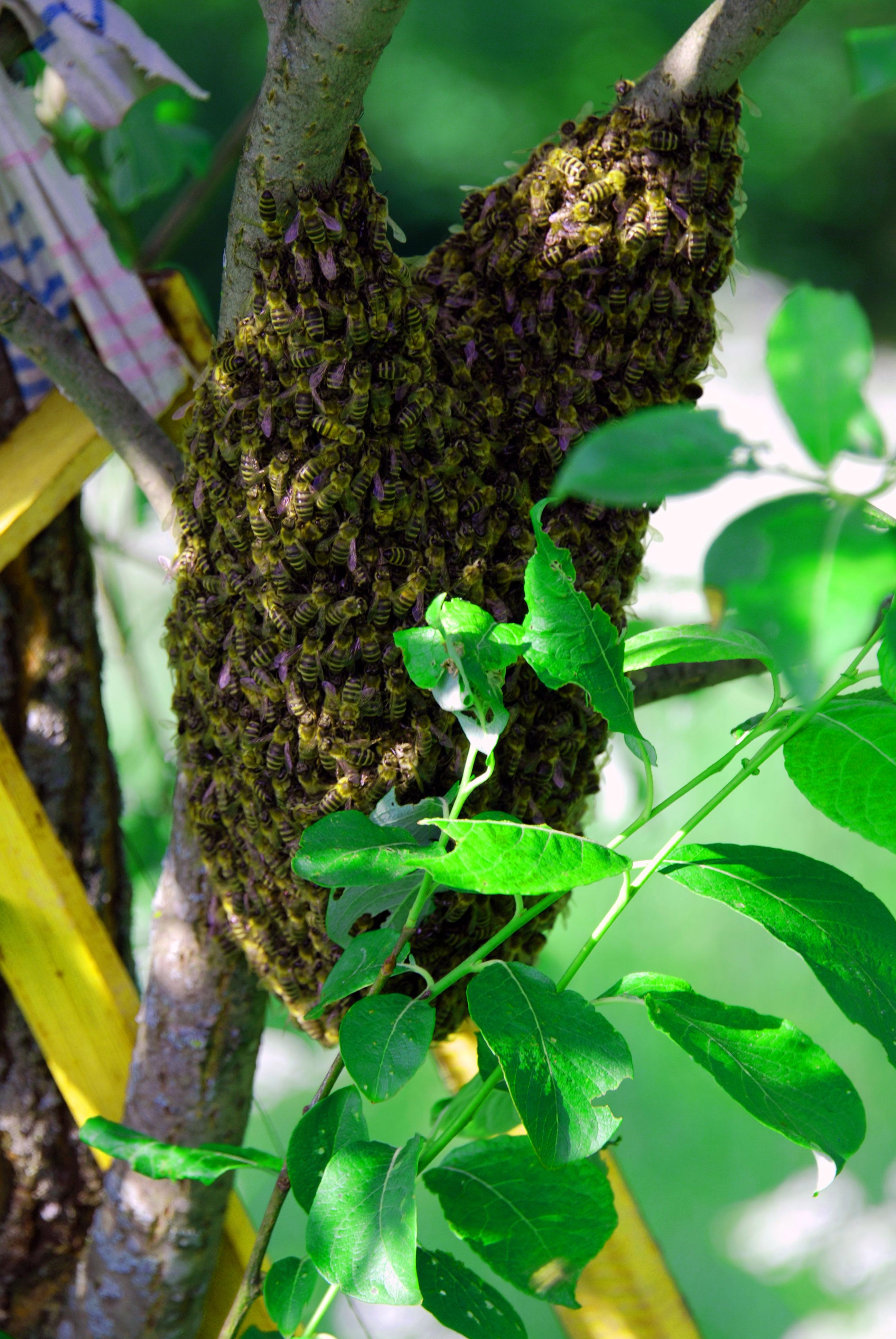 Пчелинный-рой-на-дереве-