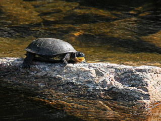 TURTLES, TURTLES, TURTLES, they are everywhere. We have snappers, blanding and painted right off the
