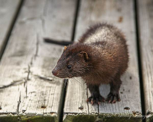 little mink looking for winter food