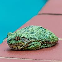 COOL FROGS, tree frogs seem to love the pool