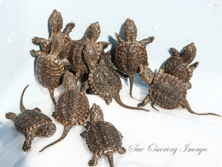 BABY TURTLES might need some help crossing the road, Please look out for these little ones and see t