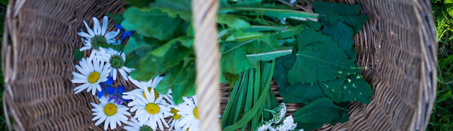 Cueillette de Plantes SauvagesAAEBD19©_Naïade_Plante-53