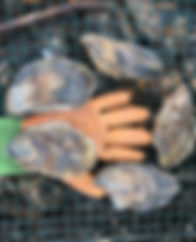 High Mark Oysters
