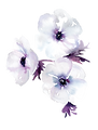 anemone-cluster-01_edited.png